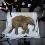 La carcasse d'un mammouth à Hong Kong en avril dernier