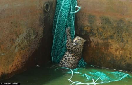 Un léopard rescapé d'un réservoir de carburant en Inde
